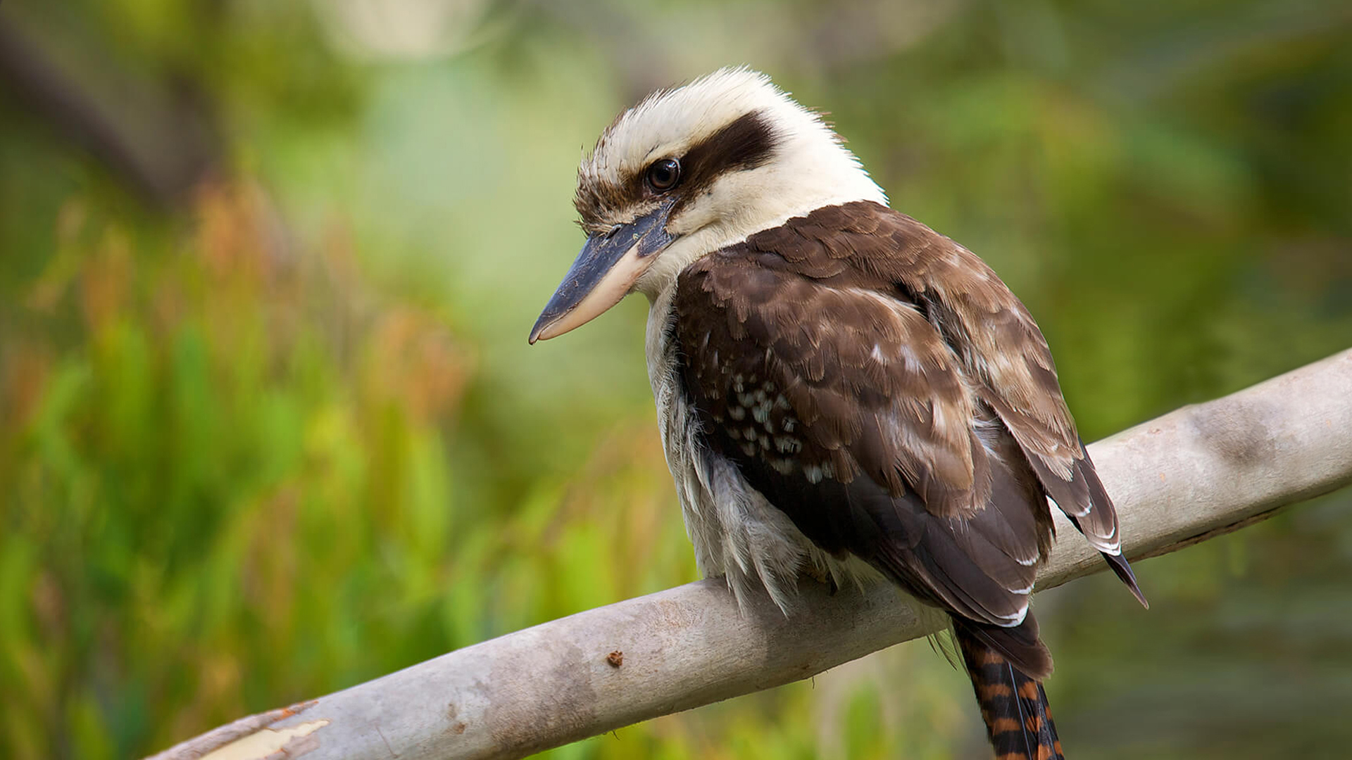 Black And Gray Wallpaper Laughing Kookaburra San Diego Zoo Animals Amp Plants