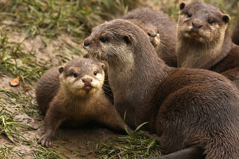 Cute Baby And Mother Wallpaper Otter San Diego Zoo Animals Amp Plants