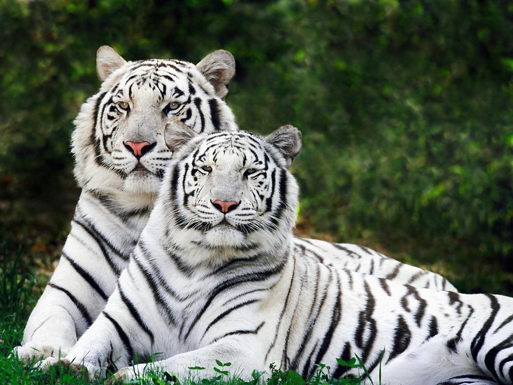 Bengal Tiger Facts Pictures Habitat Information Diet