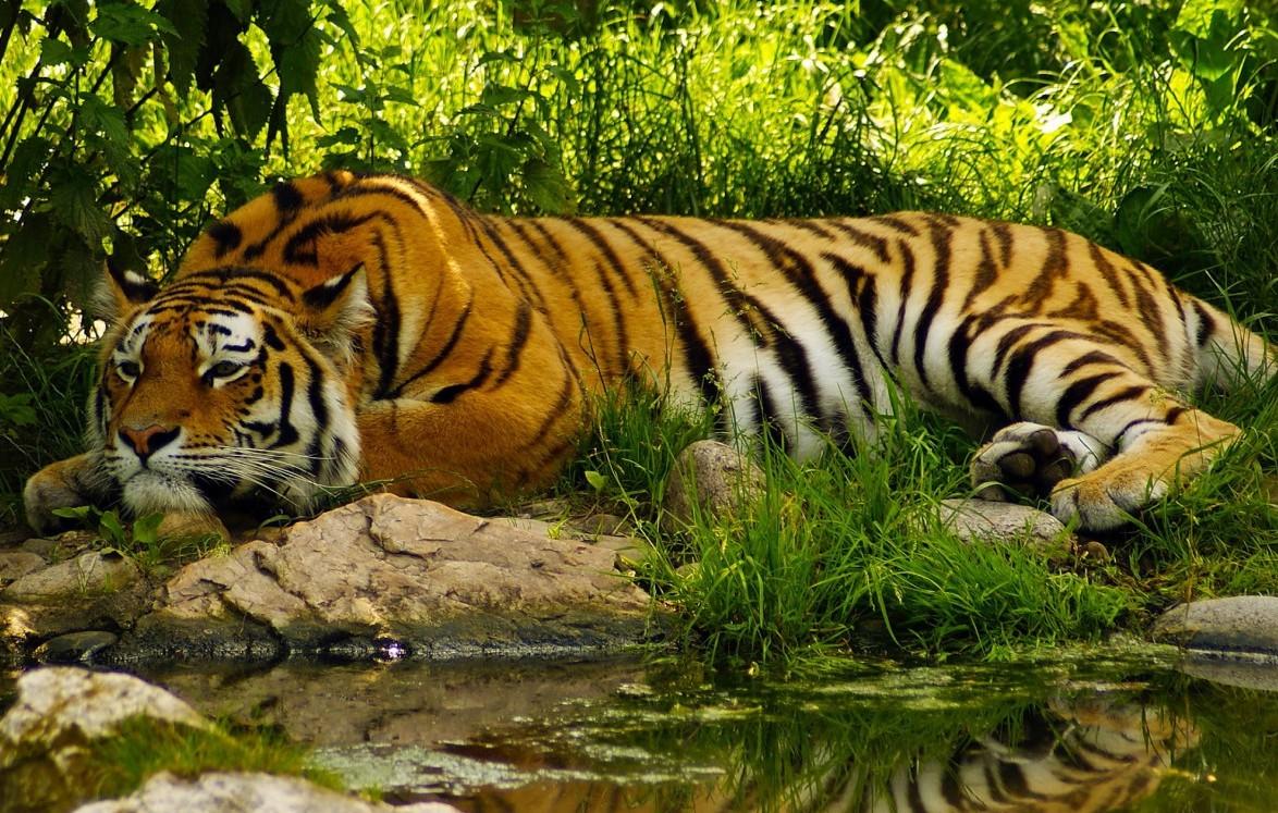 Sad Wallpaper Full Hd Bengal Tiger Facts Pictures Habitat Information Diet