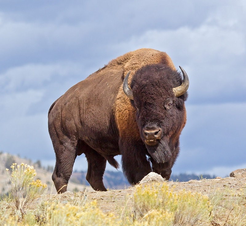 Fall Mist Wallpaper Bison Facts Pictures Info Diet Lifecycle Appearance