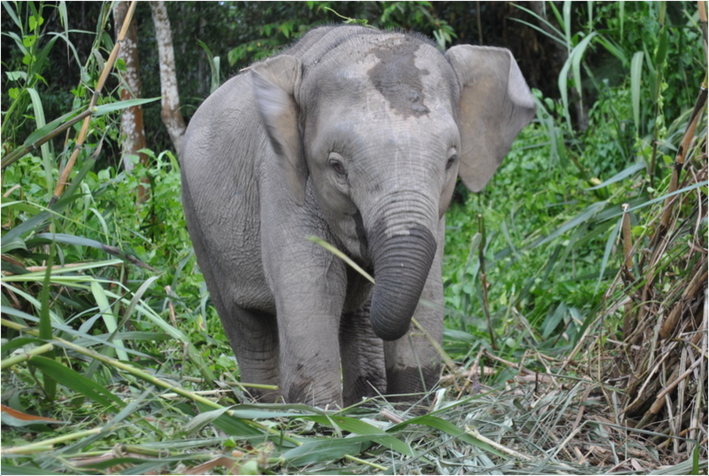 Very Cute Wallpapers For Desktop Borneo Pygmy Elephant Facts Pictures Behavior