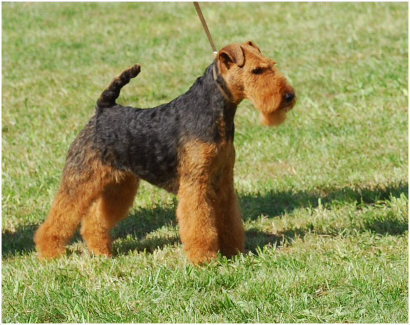 Image For Border Terriers