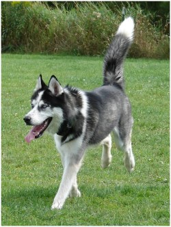 Small Of Do Huskies Shed