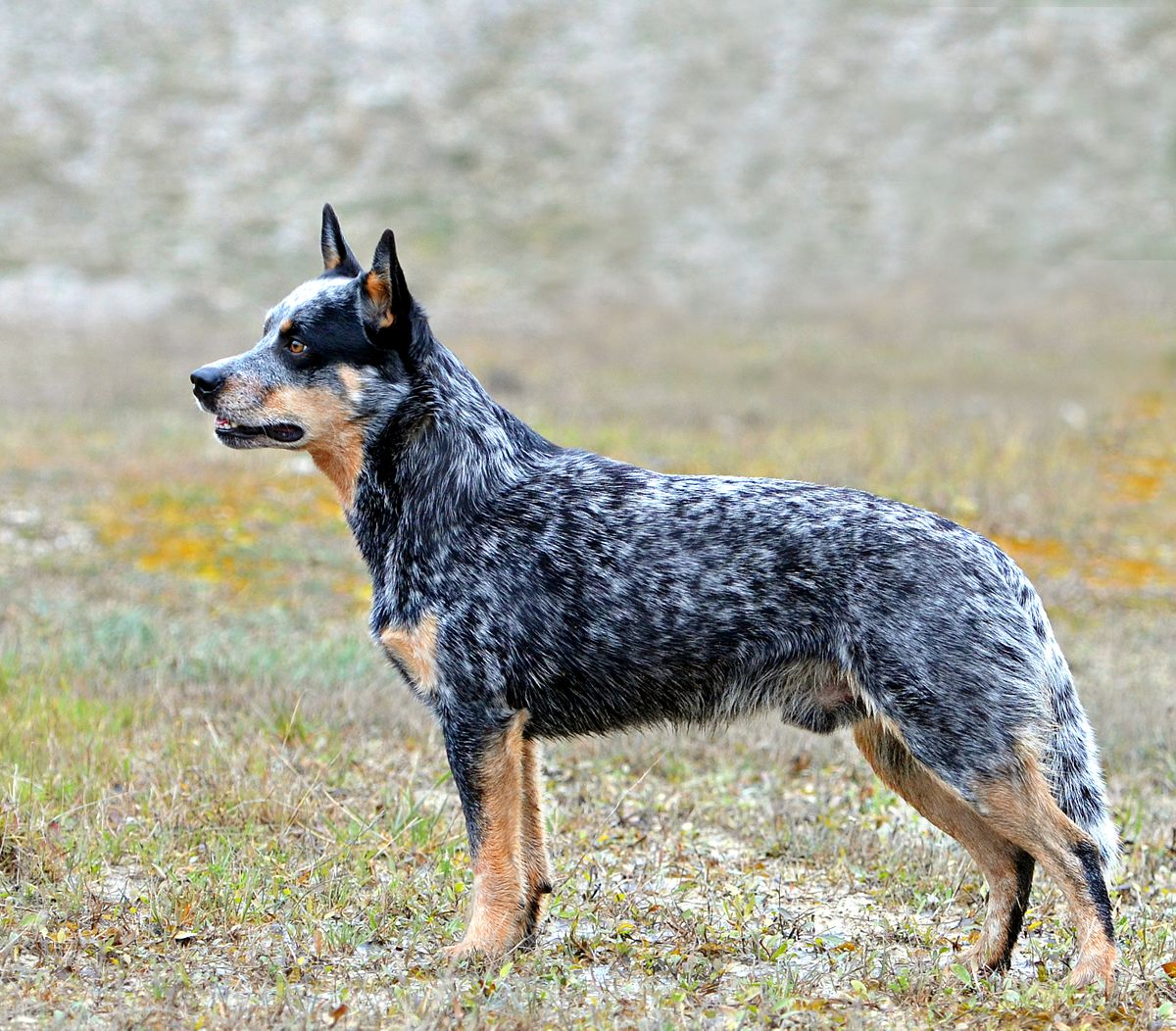 Australian Cattle Dog I Was Told Our Harley Is Part Australian Shepherd And