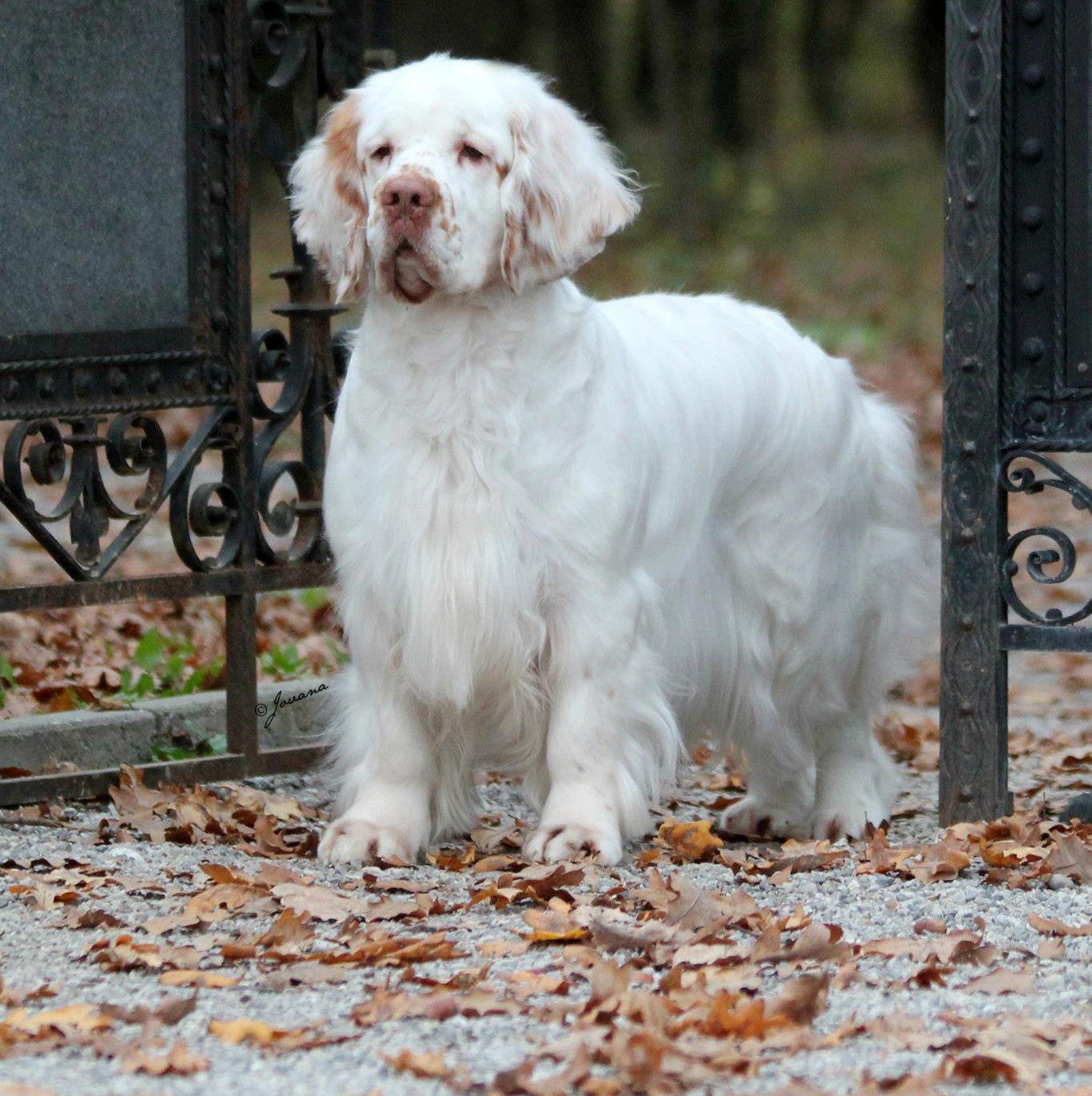 Clumber Spaniel Clumber Spaniel Dog Breed Info Pets Wallpapers