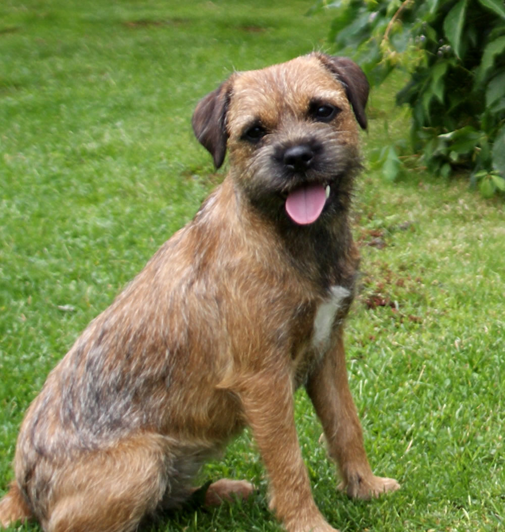 Image For Border Terrier Dog Breed Information And Pictures