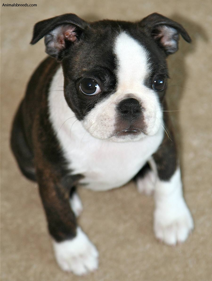 Cute Boston Terrier Wallpaper Boston Terrier Pictures Information Temperament