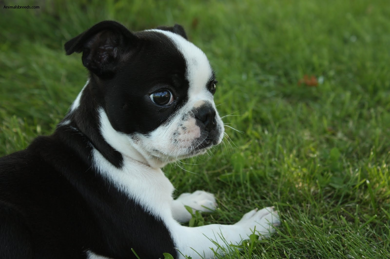Image For Boston Terrier Information And Facts Dog Breeds