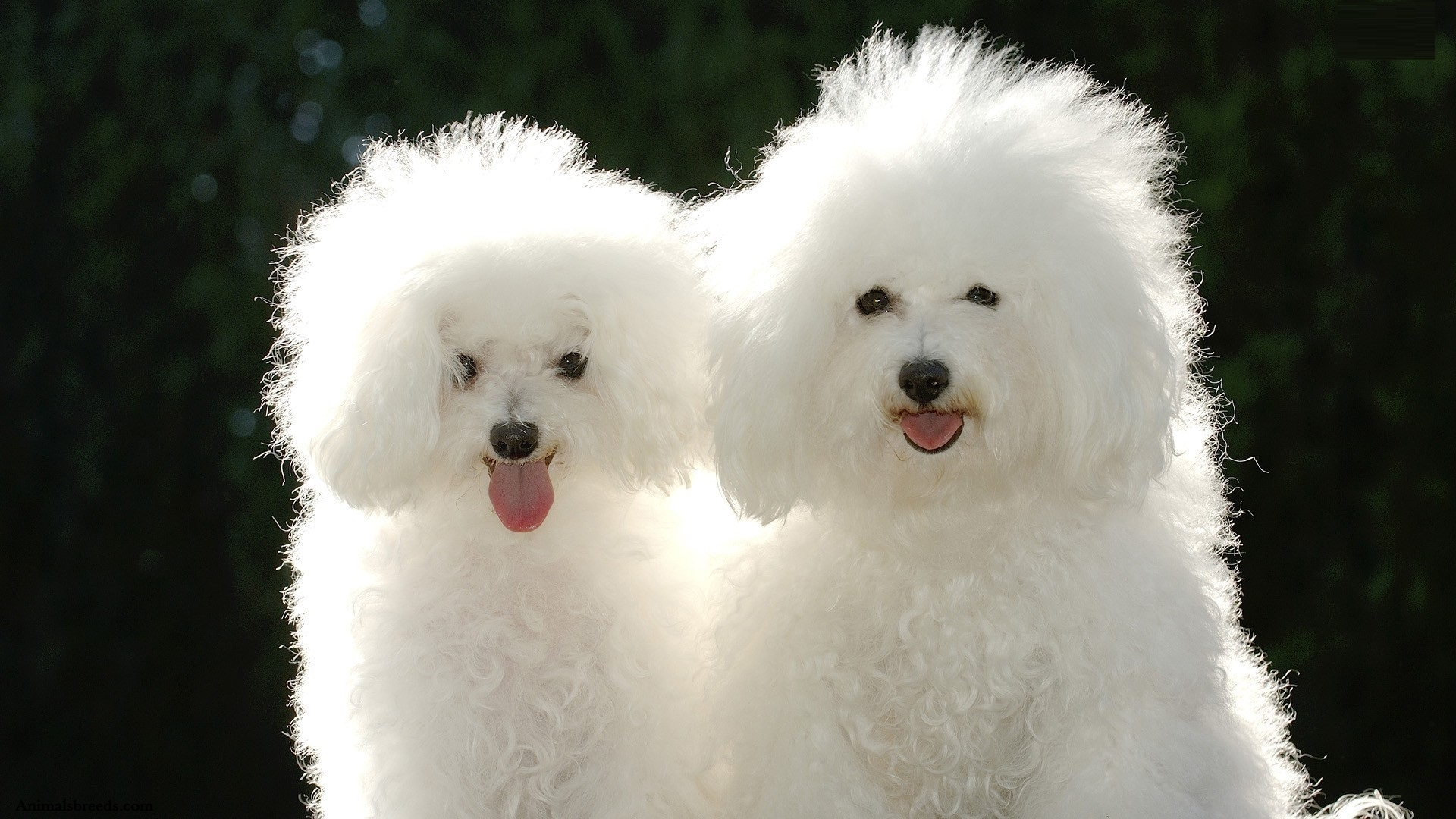 Cute Puppies Wallpaper 1080p Bichon Frise Puppies Rescue Pictures Information