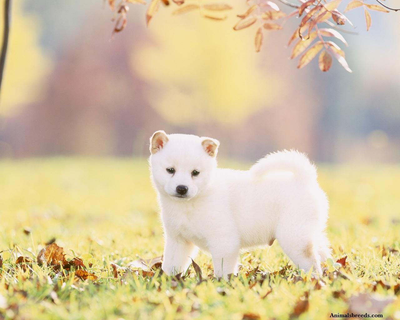 Shiba Inu Cute Desktop Wallpaper Shiba Inu Puppies Rescue Pictures Information