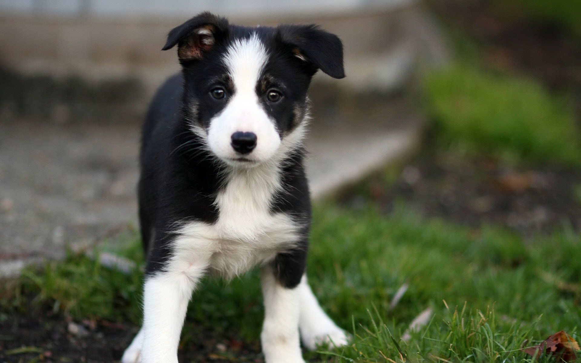 Cute Husky Wallpaper Hd Border Collie Puppies Rescue Pictures Information
