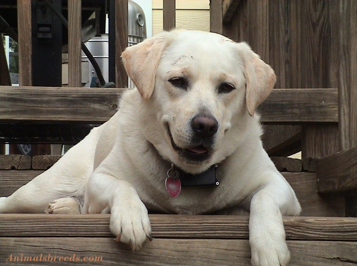 Cute Puppies Wallpapers With Quotes Labrador Retriever Puppies Rescue Pictures