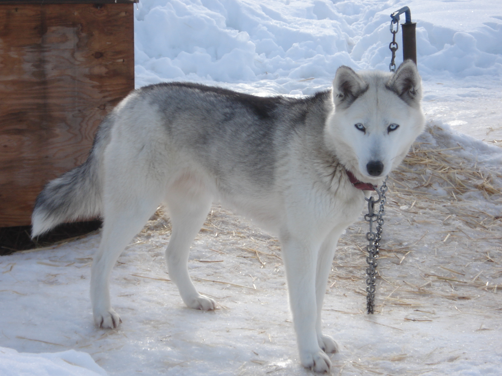 Husky Price Seppala Siberian Sleddog Facts Breeders Pictures
