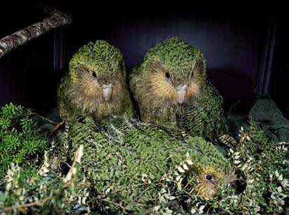 طيور ملونه روعه 2016 ، طائر البغبغان المميز 2016 ، صور طيور منوعه kakapo.jpg?w=640