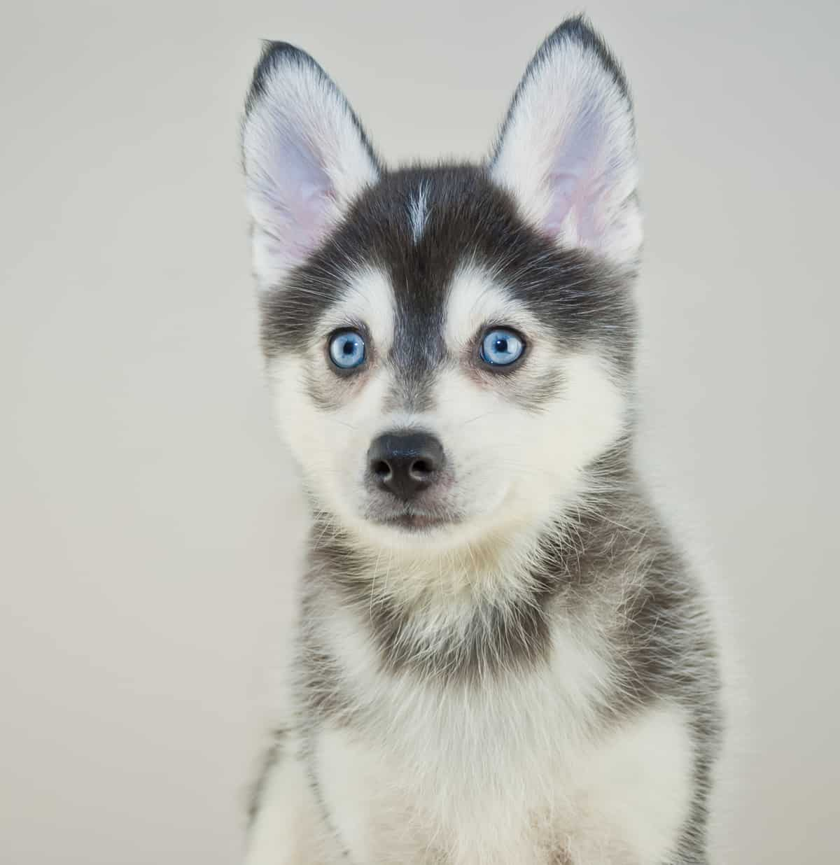 Husky Price How Much Does It Cost To Own A Pomsky Animalso