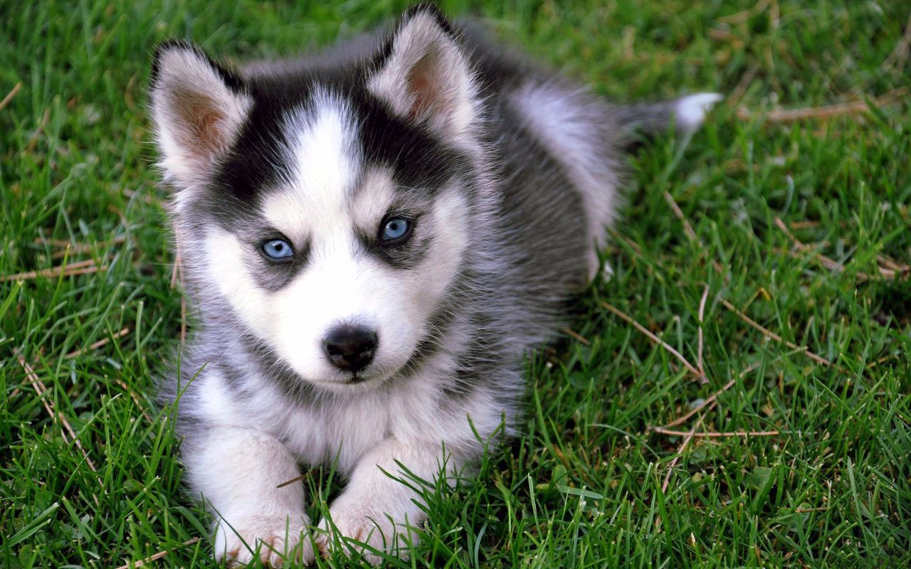 Husky Price 7 Things You Need To Know Before Buying A Pomsky Animalso