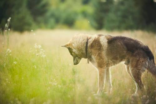 Medium Of Dog Breeds That Look Like Wolves