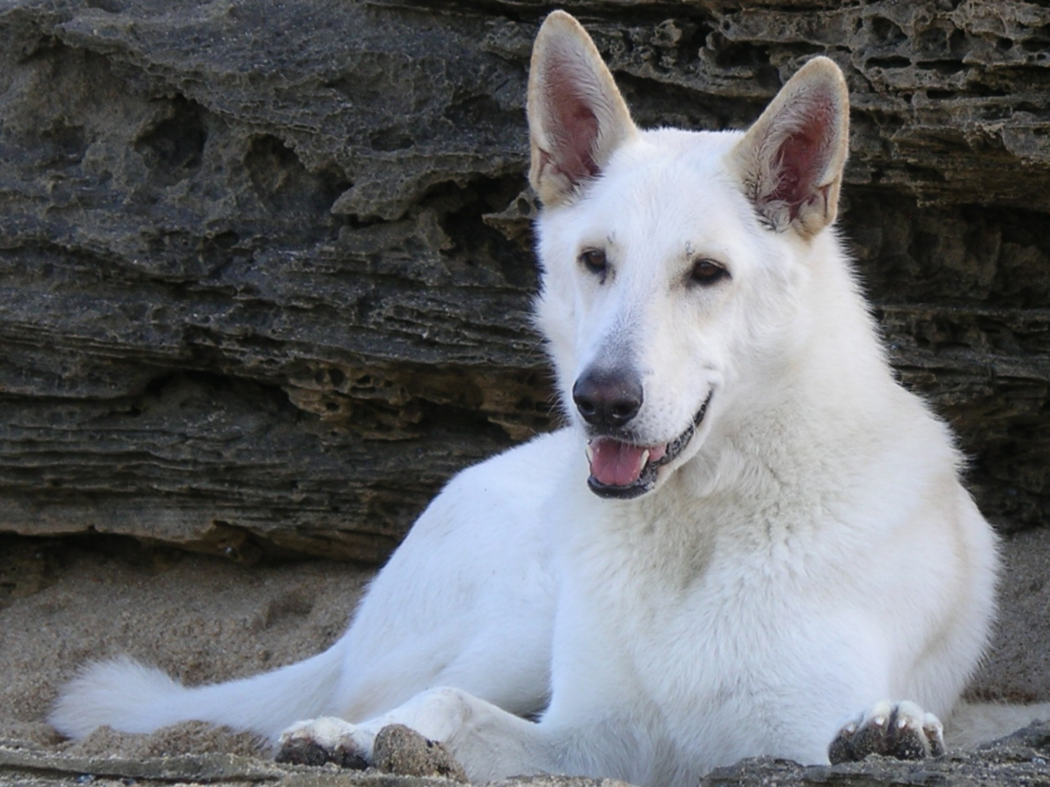 White Photo 5 Common Questions About The White German Shepherd Animalso