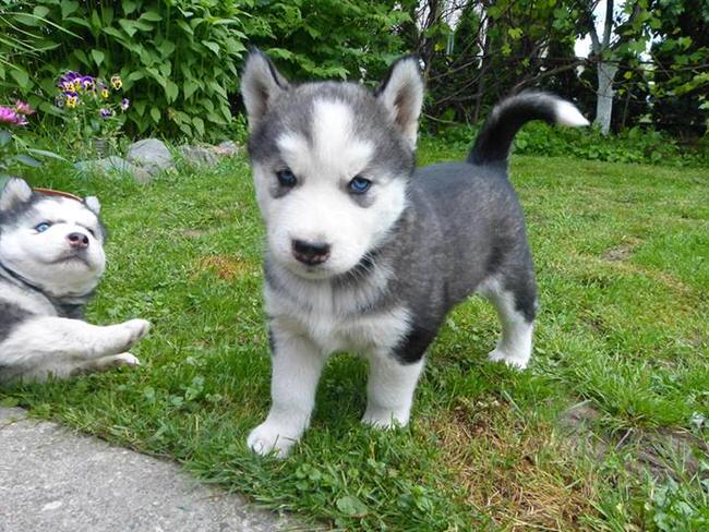 Cute White Dogs Wallpapers 7 Things You Need To Know About The Siberian Husky Animalso