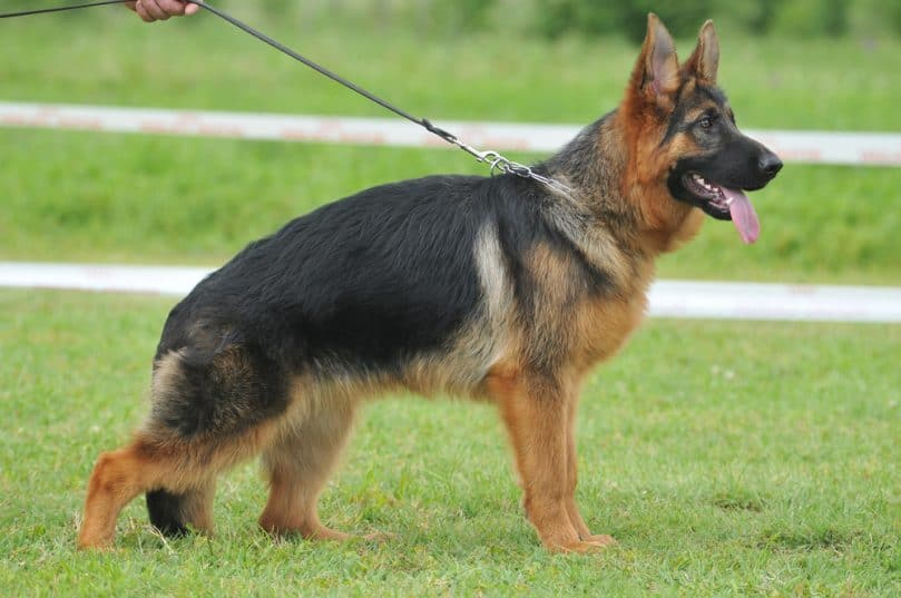 German Shepherd\u0027s Weight and Height The Complete Guide and Charts