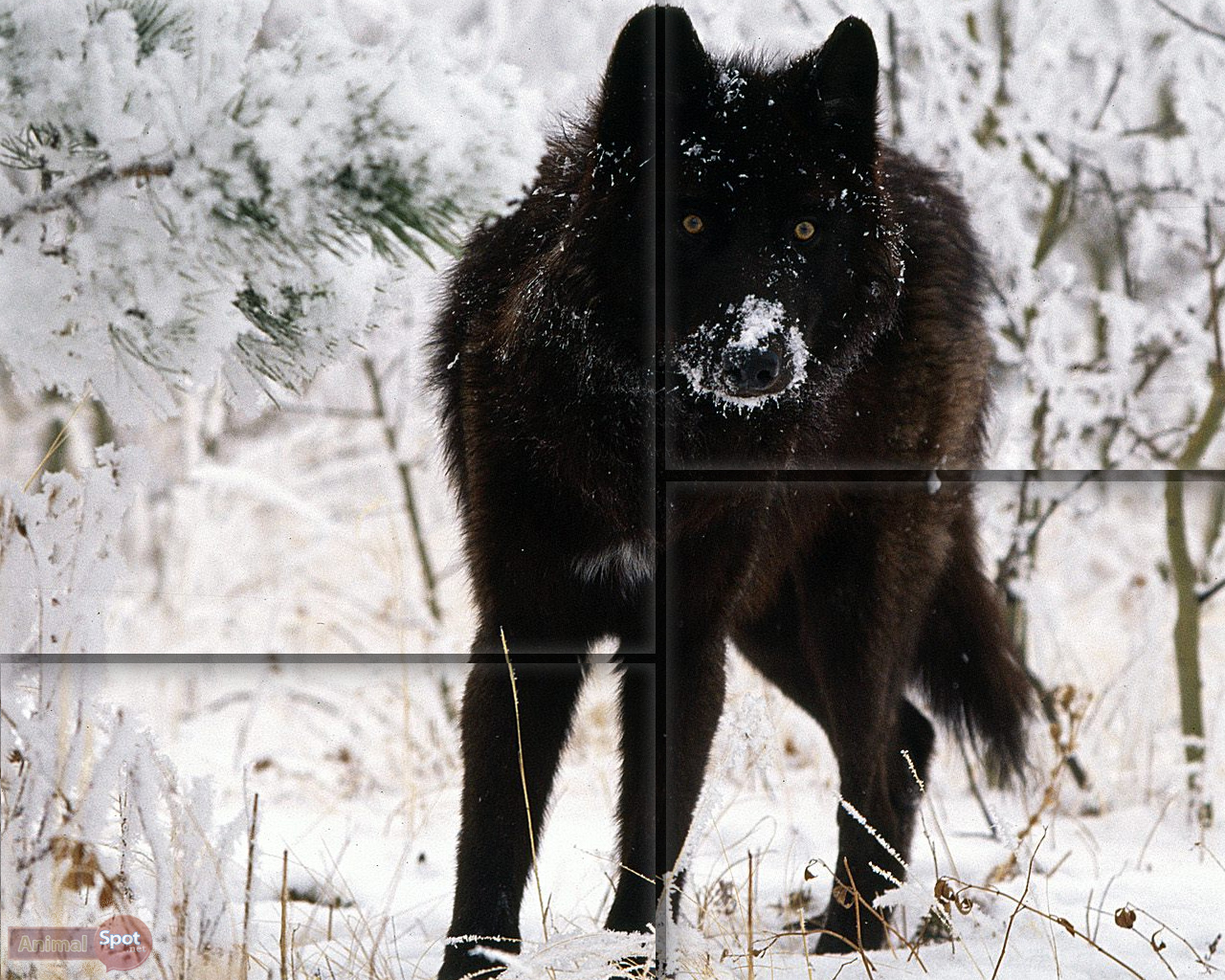 Black Wolf Wallpaper Wolf Wallpapers Animal Spot