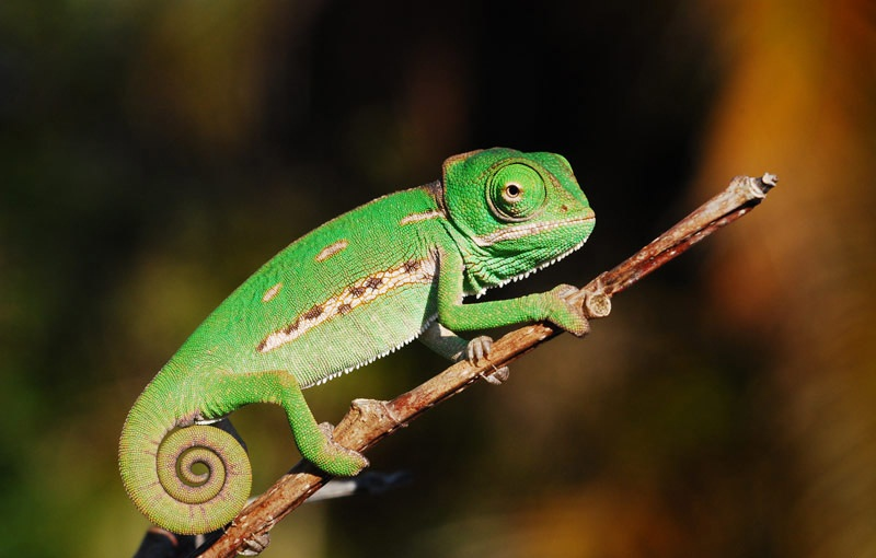 Sand Spurs Veiled Chameleon Facts, Habitat, Diet, Baby, Pet Care