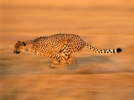 Cheetah Facts - Cheetah Run