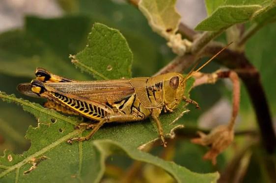 grasshopper facts for kids