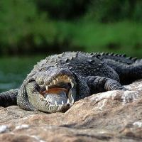 What Do Crocodiles Eat | Crocodiles Diet