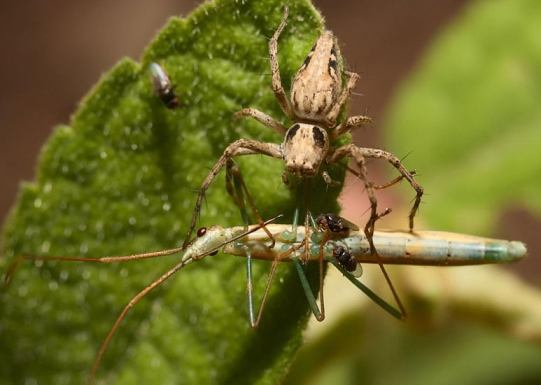 what do spiders eat | what do wolf spiders eat