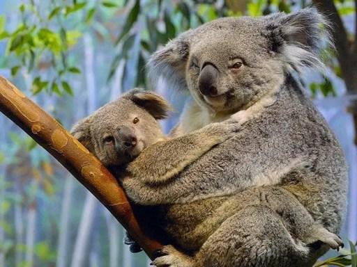 koala bear  with its baby - koala bear facts for kids