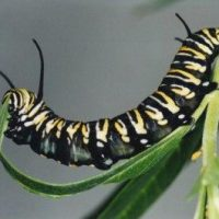 Caterpillar Facts For Kids | Caterpillar Diet & Habitat