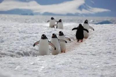 gentoo penguin facts