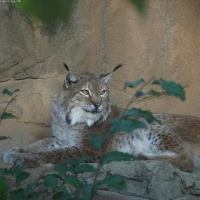 Lynx Facts for Kids - Appearnce, Diet, Hunting, Reproduction & breeding