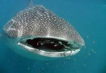 where do whale sharks live