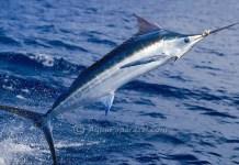blue marlin facts