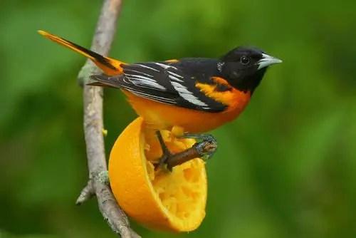 Fall Bird Feeder Wallpaper Oriole Bird Facts Anatomy Diet Habitat Behavior
