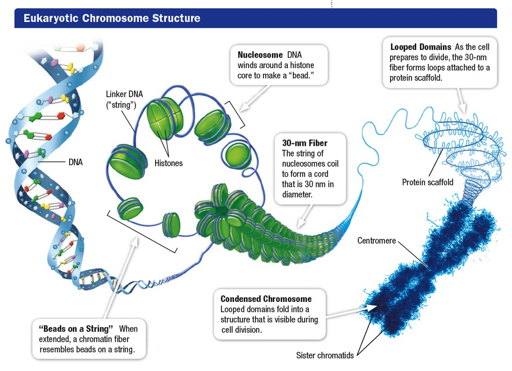 Chromosomes And Dna Structures