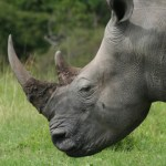 South Africa: 373 Rhinos Killed in 248 Days