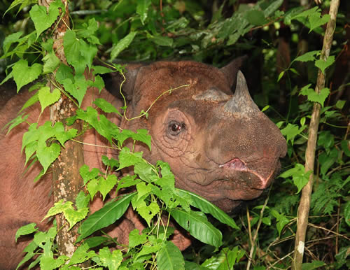 The Critically Endangered Sumatran rhino population consists of fewer than 100 individuals. Photo © Bill Konstant / International Rhino Foundation