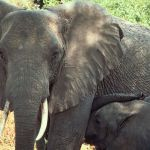 UN: Wildlife Trafficking Threatens 'Peace and Security' in Central Africa
