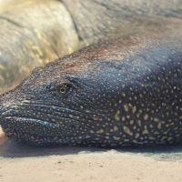 CITES Appendix II Protection Proposed for Africa's Softshell Turtles