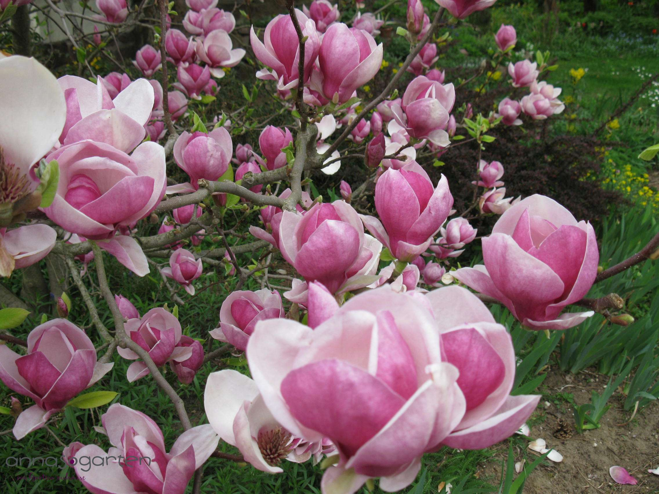 Tulpen Magnolie Pflege Magnolie Satisfaction Magnolia Satisfaction