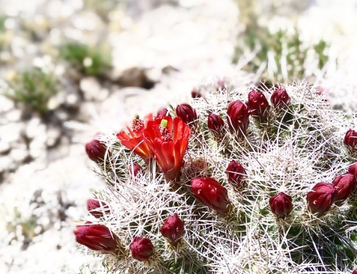 cactusbud