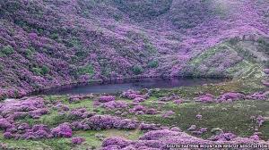 photo of Irish Rhododendrons