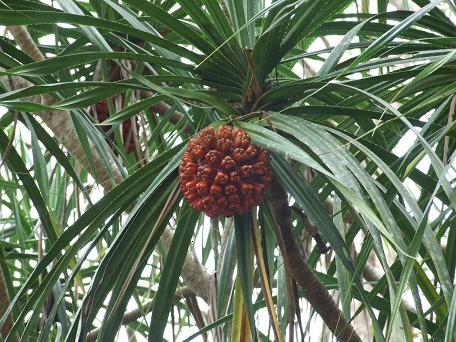 Pandanus spp., close