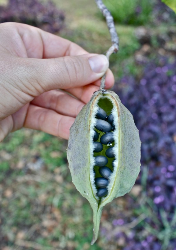 sterculia africana, fruit, seed, pod