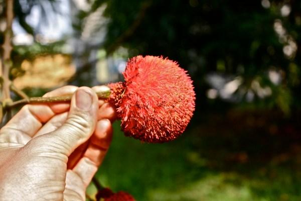 Leguminosae - Mimosoideae, Parkia bicolor, flower