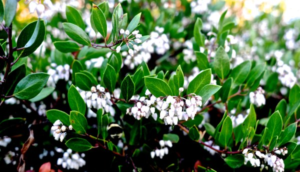 Arctostaphylos densiflora, sonoma